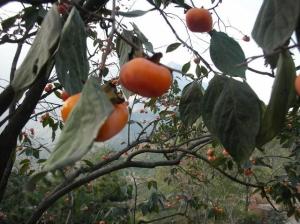 八里沟土特产——柿子