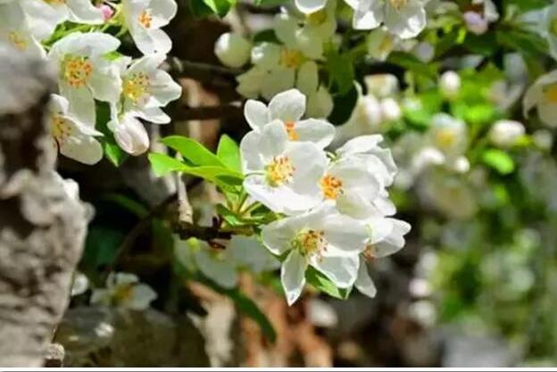齐王寨海棠花徒步节邀你一起赏花观景加徒步