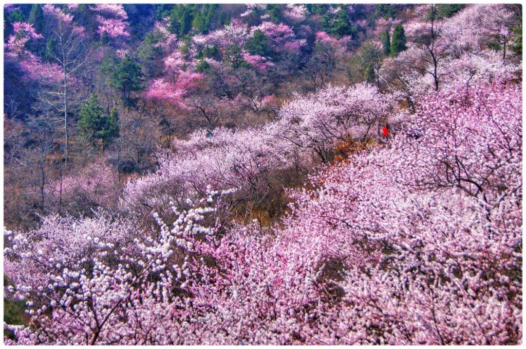桃花渐欲迷人眼,秋沟景区待君归。