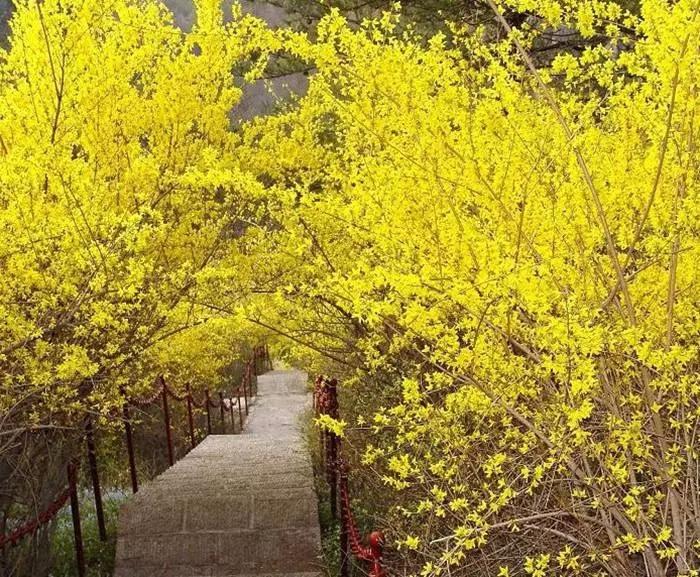 春潮花海醉关山,满山连翘迎春开!