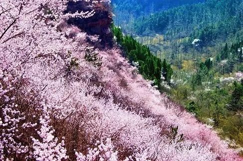 独家揭秘——看桃花一定要来秋沟的原因
