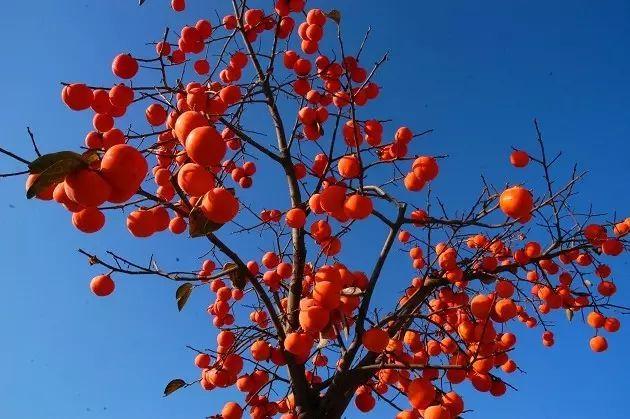 新乡南太行|柿子红了