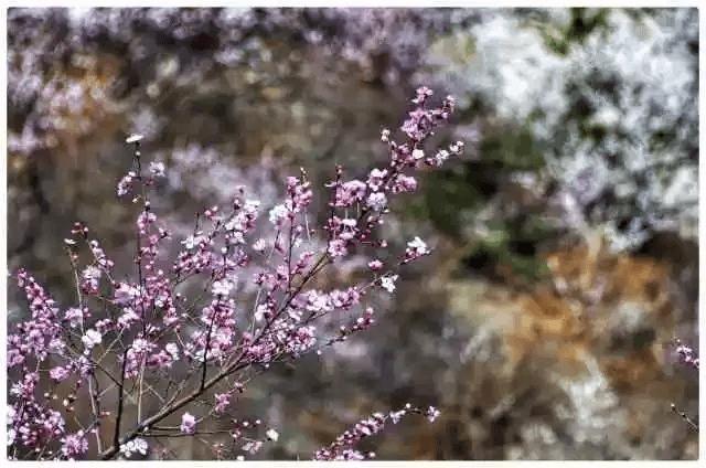 春天会来,桃花会开,打赢这一仗,我在新乡南太行的花海等你!