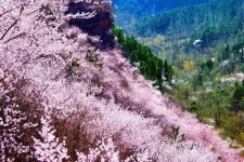风雨压不跨,危难中开花,新乡南太行的春天来了!
