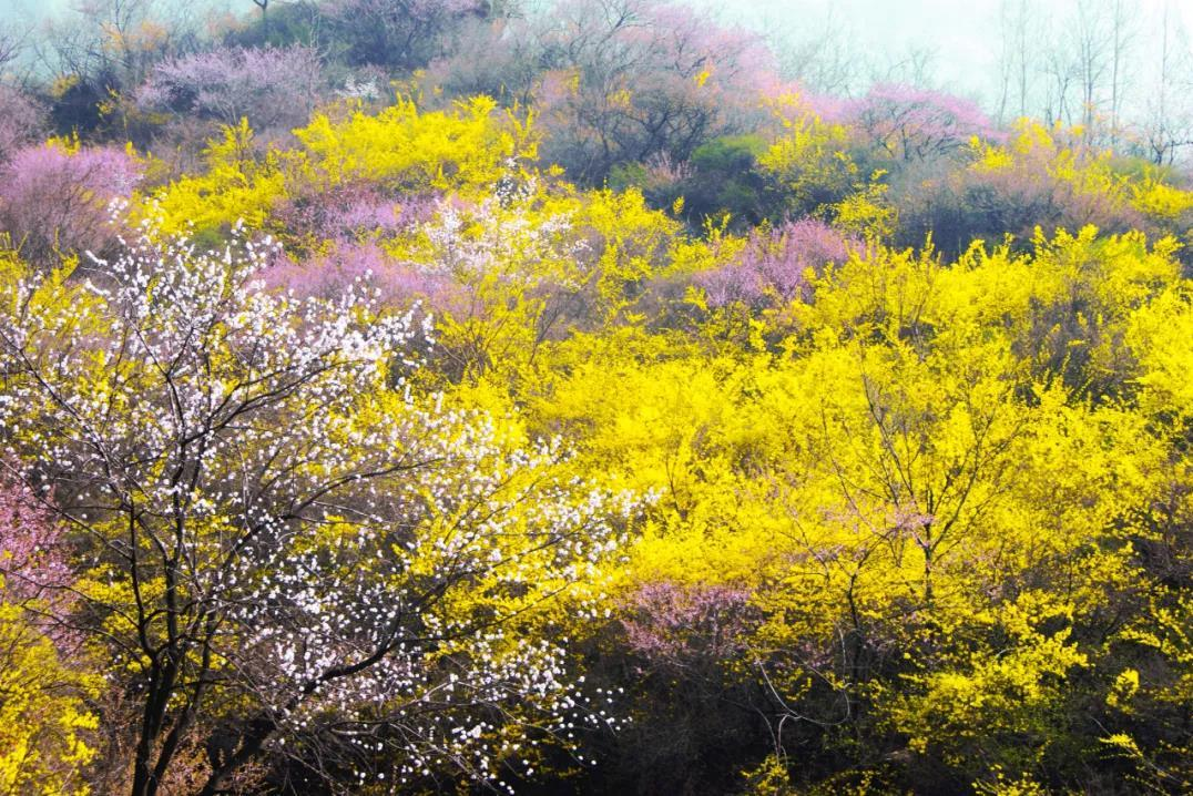 连翘花开满山黄,夹带桃花浓郁香,豫北地区最大的野生连翘花基地进入最佳观赏期啦!