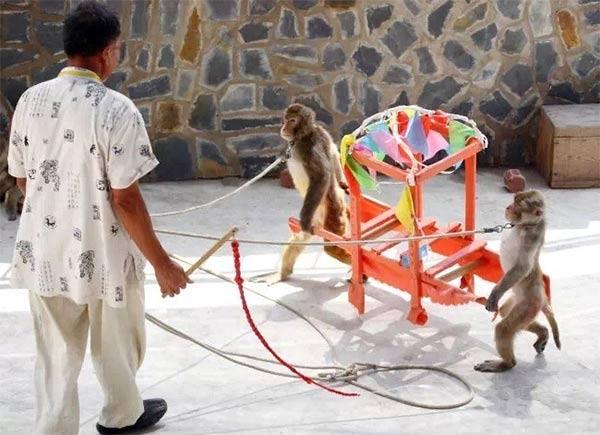 关山猕猴表演