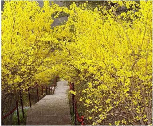 关山连翘惊诧开,满目嫩黄示春来。