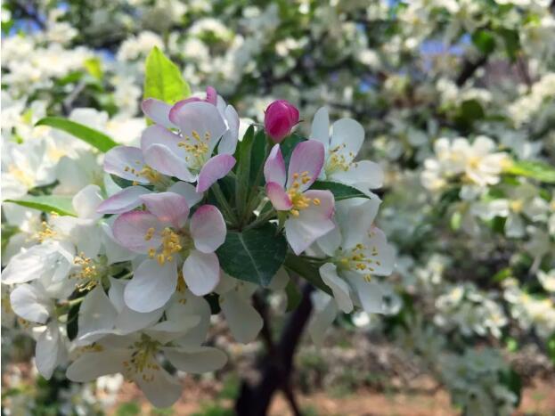 海棠花节|又是一年花开日,齐王寨春光正美时!
