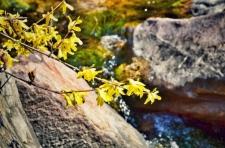三八女神节所有女士免门票!当桃花遇上连翘,快和她一起来踏春赏花吧!